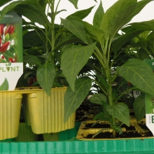 PIANTINE DI PEPERONCINI | VIVAI BIO PLANT | ORTOFLOROVIVAISMO | SCICLI - RAGUSA - SICILIA