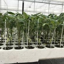 PIANTINE INNESTATE | VIVAI BIO PLANT | ORTOFLOROVIVAISMO | SCICLI - RAGUSA - SICILIA